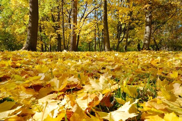 Goldene gefallene ahornblätter im herbstpark