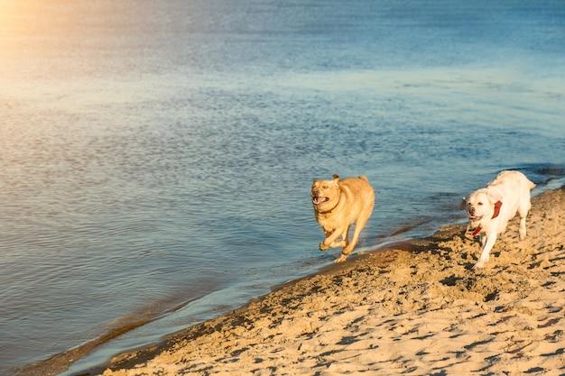Goldene labrador retriever haben spaß beim laufen entlang der sonnenfackel am strand