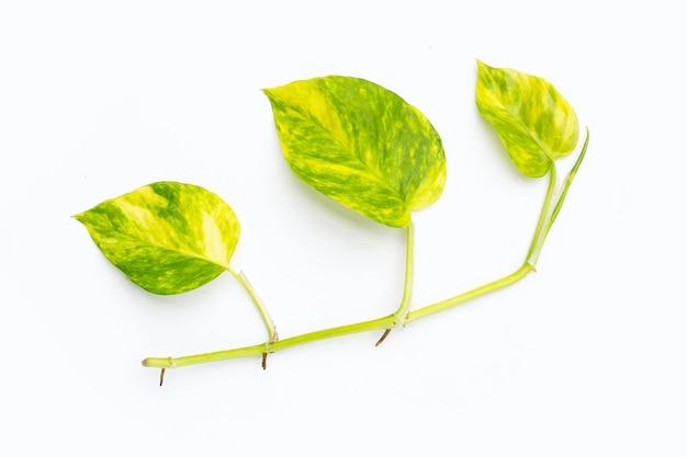 Goldene pothos oder efeublätter des teufels auf weißem hintergrund.