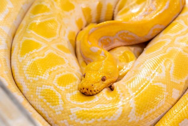 Goldene python im zoo