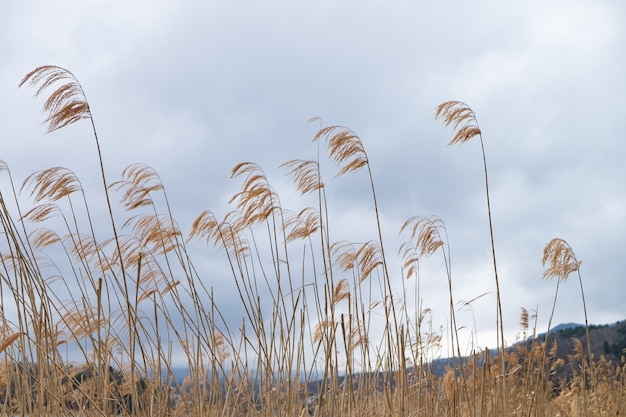 Goldene rasenflächen mit grauem wolkenhintergrund und -bergen