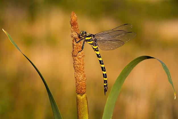 Goldene ringförmige libelle, die auf binse ruht.