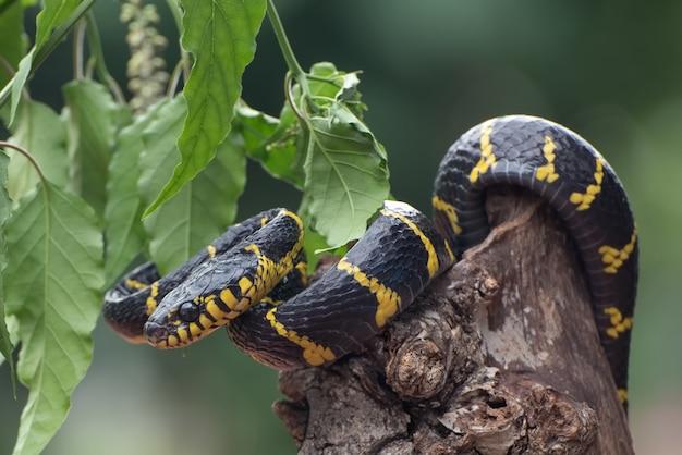 Goldene ringkatzenschlange, die sich um den ast wickelte