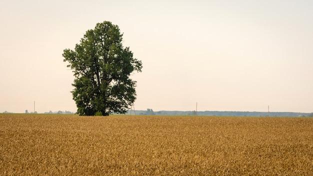 Goldene roggenfelder und einsame bäume.