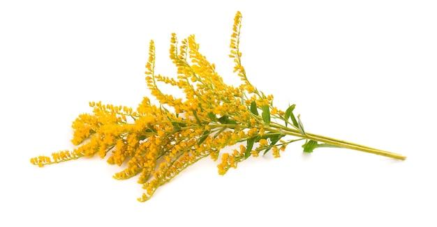Goldene solidago virgaurea-blumen isoliert auf weißem hintergrund. ambrosia-büsche oder ambrosia artemisiifolia. heilkräuterpflanze.