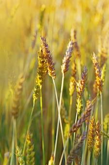 Goldene weizenähren im warmen sonnenlicht. weizen hautnah. weizenfeld im sonnenuntergang.
