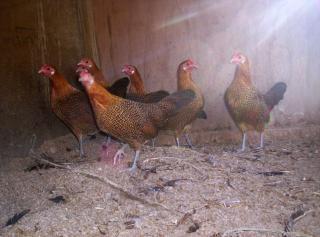 Goldenen bleistift hamburgs oder hühner?