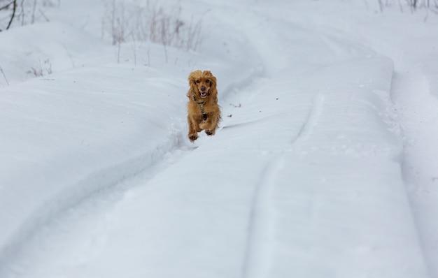 Goldener britischer cockerspanielhund, der im schnee steht