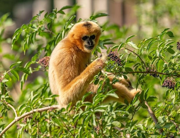 Goldener gibbon sitzt auf brang und versucht holunder