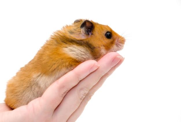 Goldener hamster auf einer menschlichen hand