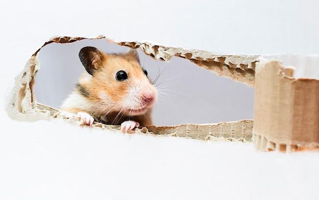 Goldener hamster, der aus einer zerrissenen schachtel herausschaut