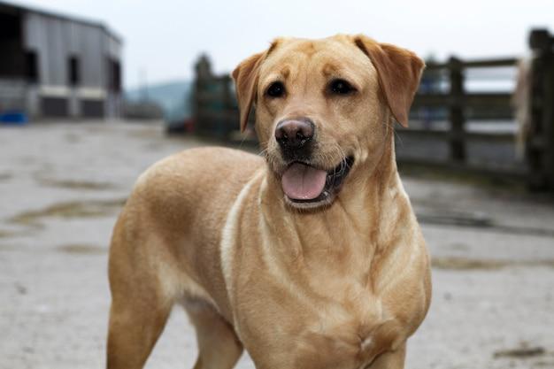 Goldener labrador retriever