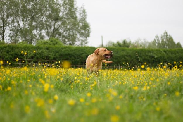 Goldener labrador