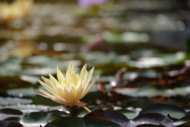 Goldener lotos im sonnenlicht.