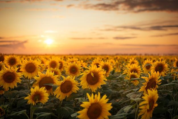 Goldener majestätischer abend über dem großen sonnenblumenfeld nach dem regen