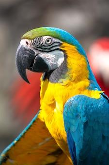 Goldener papagei