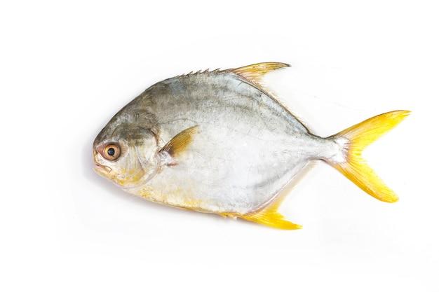 Goldener pomrfet fisch