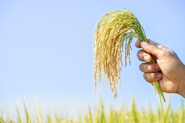 Goldener reis, schön in den händen der landwirte. das produkt, das der landwirt für die verbraucher bestimmt hat