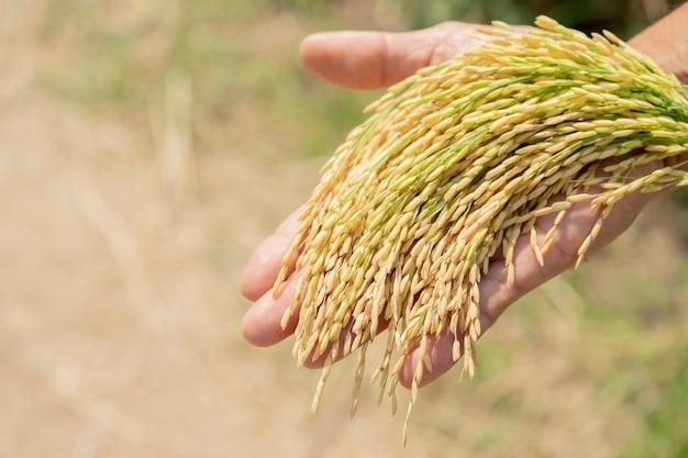 Goldener reis, schön in den händen der landwirte.
