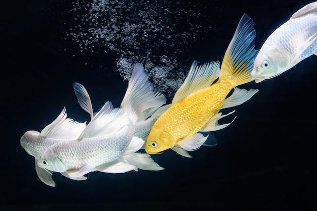 Goldener und plattnum schmetterling coi fische schwimmen in der reihe im schwarzen hintergrund