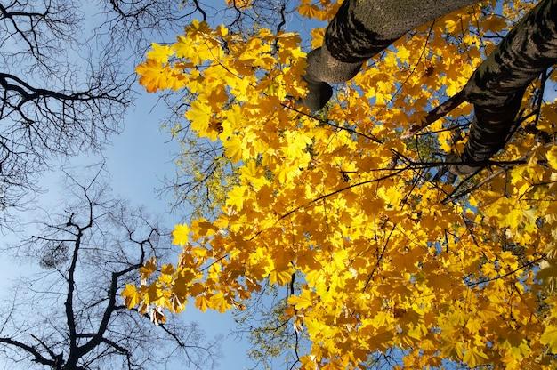 Goldenes baumlaub im herbstlichen stadtpark (ansicht von unten)