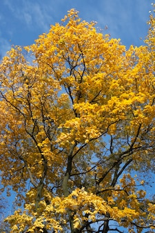 Goldenes baumlaub im herbststadtpark