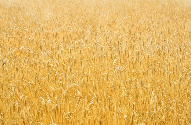Goldenes feld von mischkulturen (viehfutter), natürlicher hintergrund