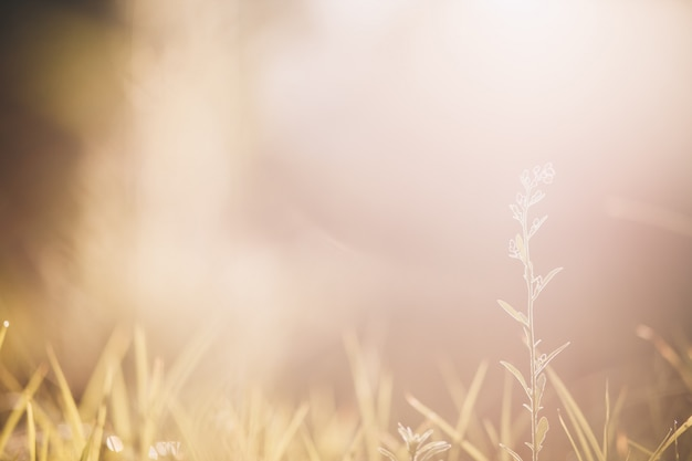 Goldenes gelbes gras morgens