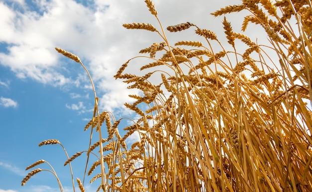 Goldenes ohr des weizens wachsend auf dem gebiet