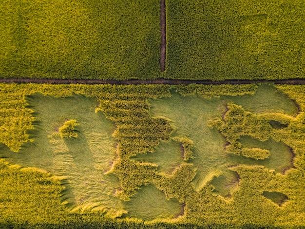 Goldenes reisfeld der luftaufnahme während der erntezeit. draufsicht landwirtschaftliche landschaftsbereiche die grünen und gelben reisfelder.