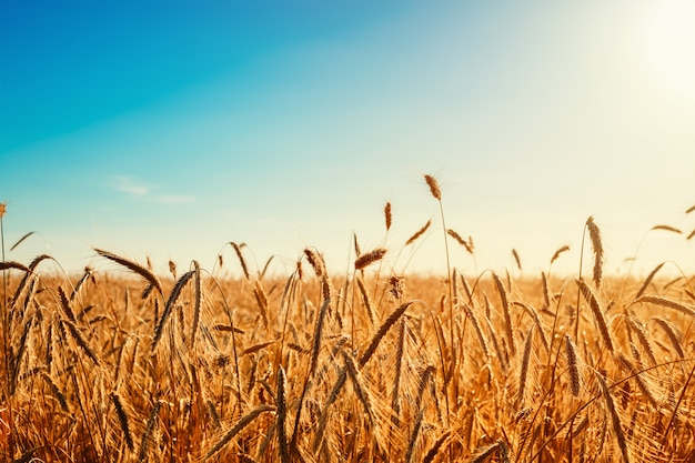 Goldenes roggenfeld mit blauem himmel am sommertag