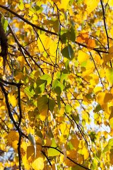 Goldenes und gelbes birkenlaub auf den zweigen in der herbstsaison