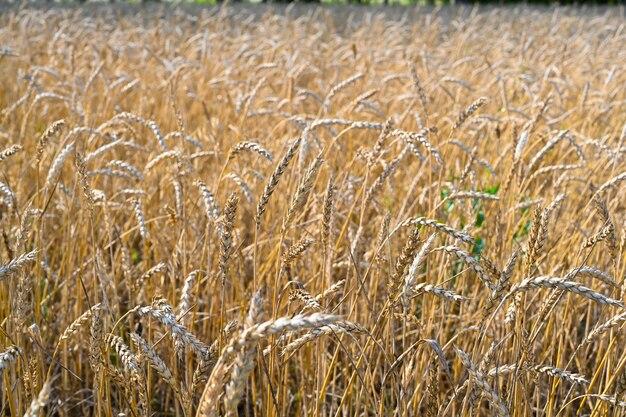 Goldenes weizenfeld am heißen sommersonntag feld des reifenden roggens an einem sommertag