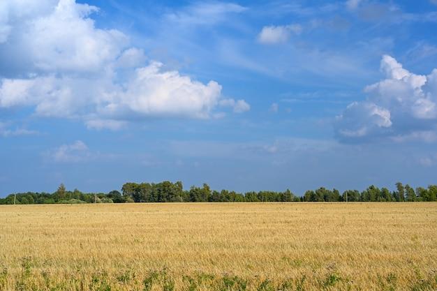 Goldenes weizenfeld am sonnigen tag des heißen sommers. feld des reifenden roggens an einem sommertag. roggen ohren.