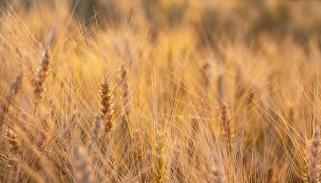 Goldenes weizenfeld bei sonnenuntergang mit sonnenreflexionen in den ährchen des weizens