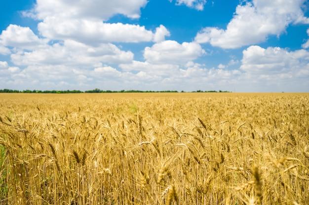 Goldenes weizenfeld bereit zur ernte mit blauem himmel