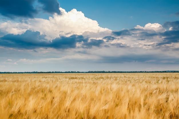 Goldenes weizenfeld mit blauem himmel
