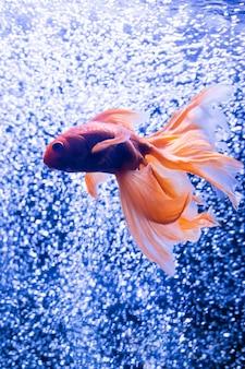 Goldfisch auf einem hintergrund von luftblasen