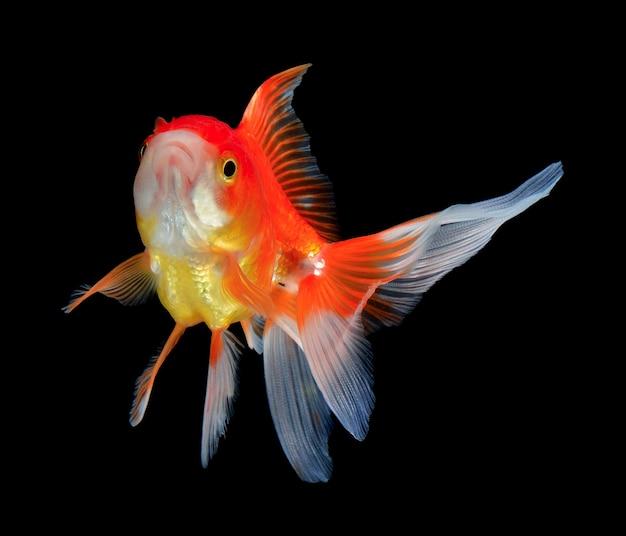Goldfisch auf schwarz
