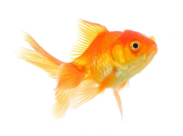 Goldfisch auf weißer wand