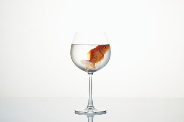 Goldfisch, der in ein weinglas auf weiß schwimmt