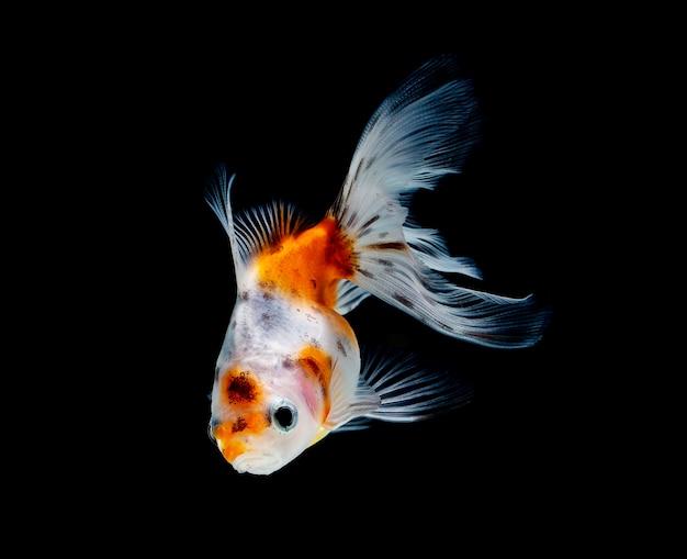 Goldfisch getrennt auf dunklem schwarzem