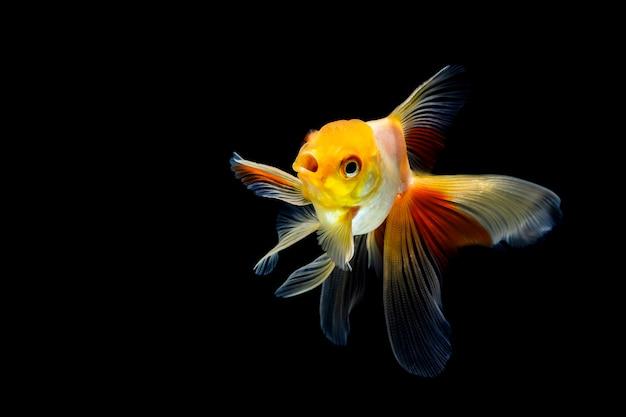 Goldfisch getrennt auf einem dunklen schwarzen