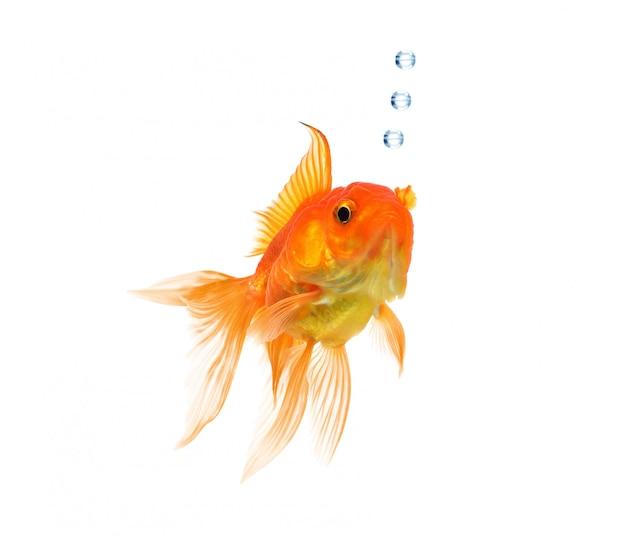 Goldfisch getrennt auf einem weißen hintergrund.