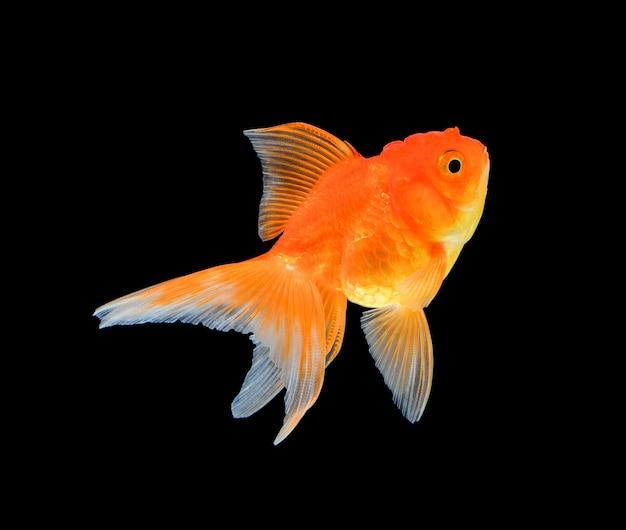 Goldfisch getrennt auf schwarzem