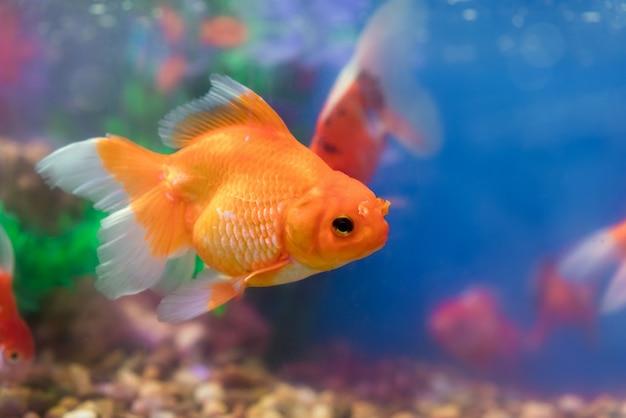 Goldfisch im frischwasseraquarium mit grünem schönem gepflanztem tropischem