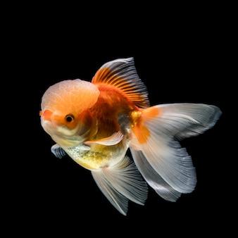 Goldfisch in der schwarzen szene