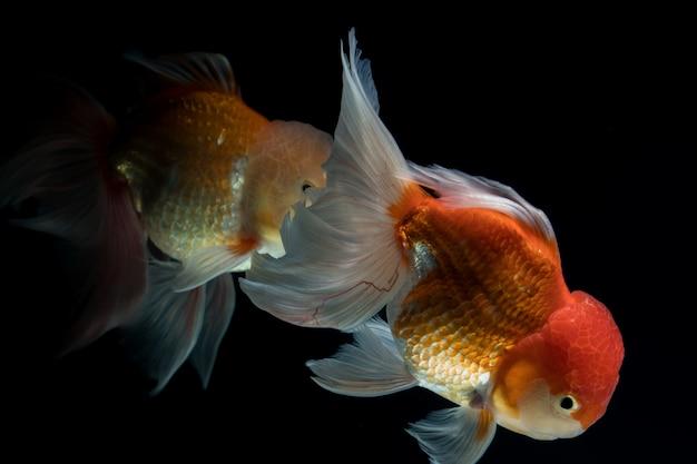 Goldfisch in einem aquarium