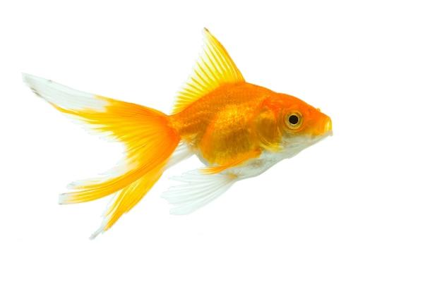 Goldfisch isolation auf dem weißen hintergrund