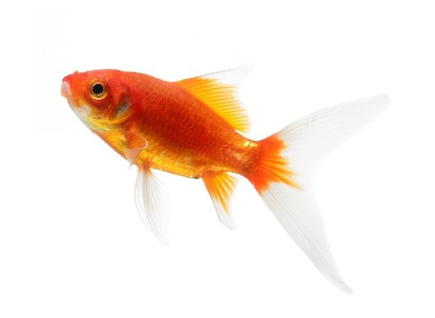 Goldfisch-isolation auf dem weißen raum